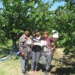 Участници в Програмата от с. Брестовица обират плодовете на труда си - 03.06.2015 г.