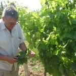 Проследяване на развитието на земеделските култури и предоставяне на агрономически консултации в с. Брестовица - 03.06.2015 г.
