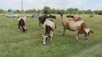 """Мониторинг на инициативата """"Закупуване на крави"""" в с. Окоп - 25.07.2014 г."""